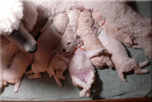 Caper puppies
